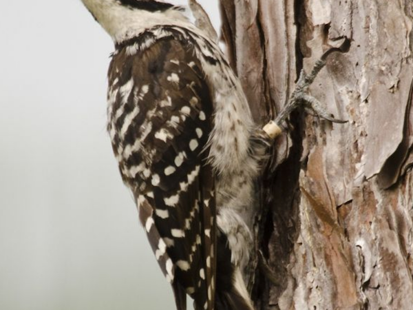 Red cockaded woodpecker on a tree