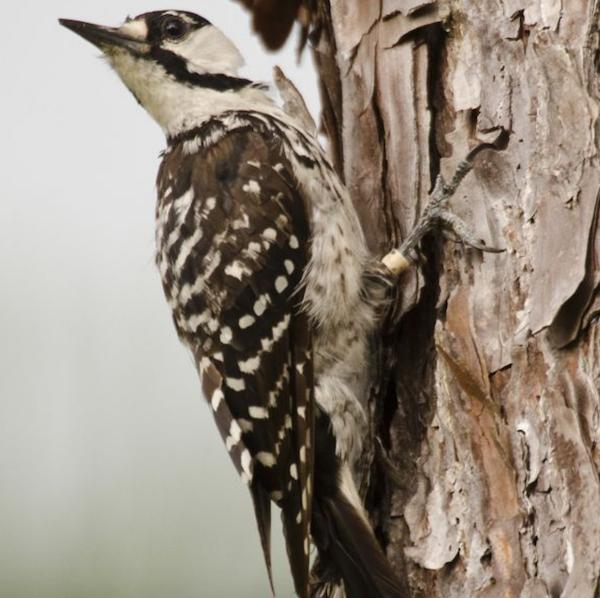 Red cockaded woodpecker on a tree
