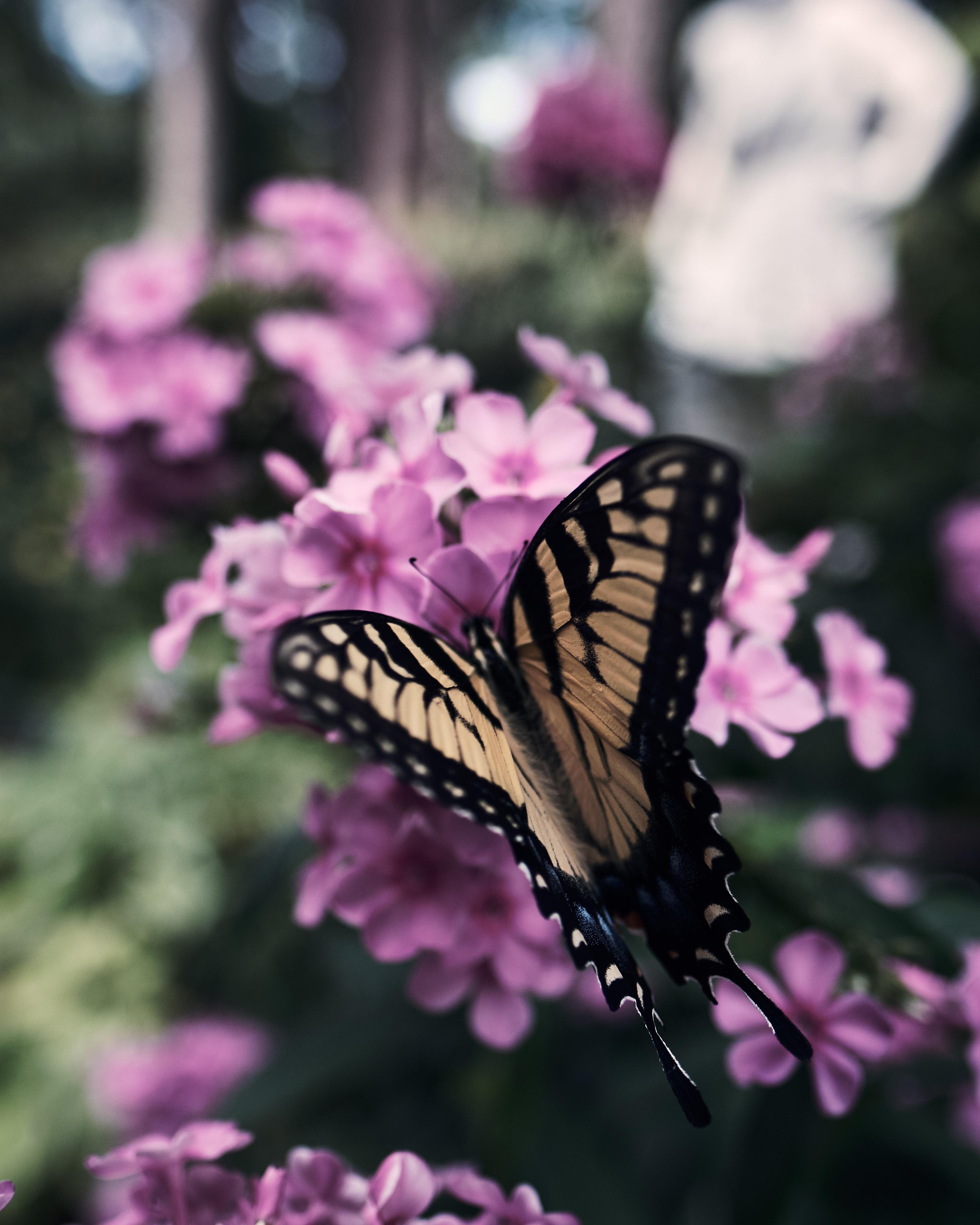 Monarch Butterfly on flowers