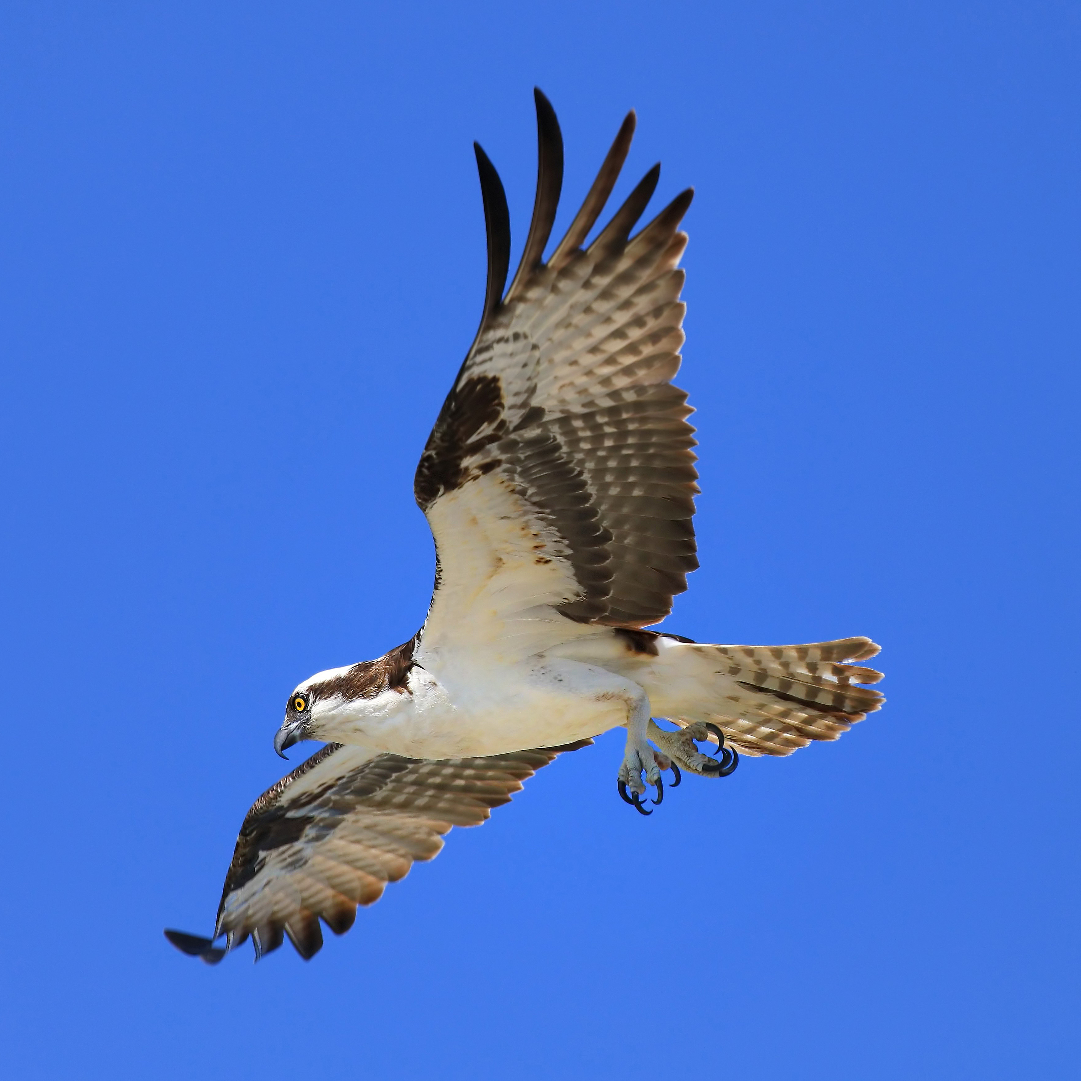 Osprey flying in Virginia