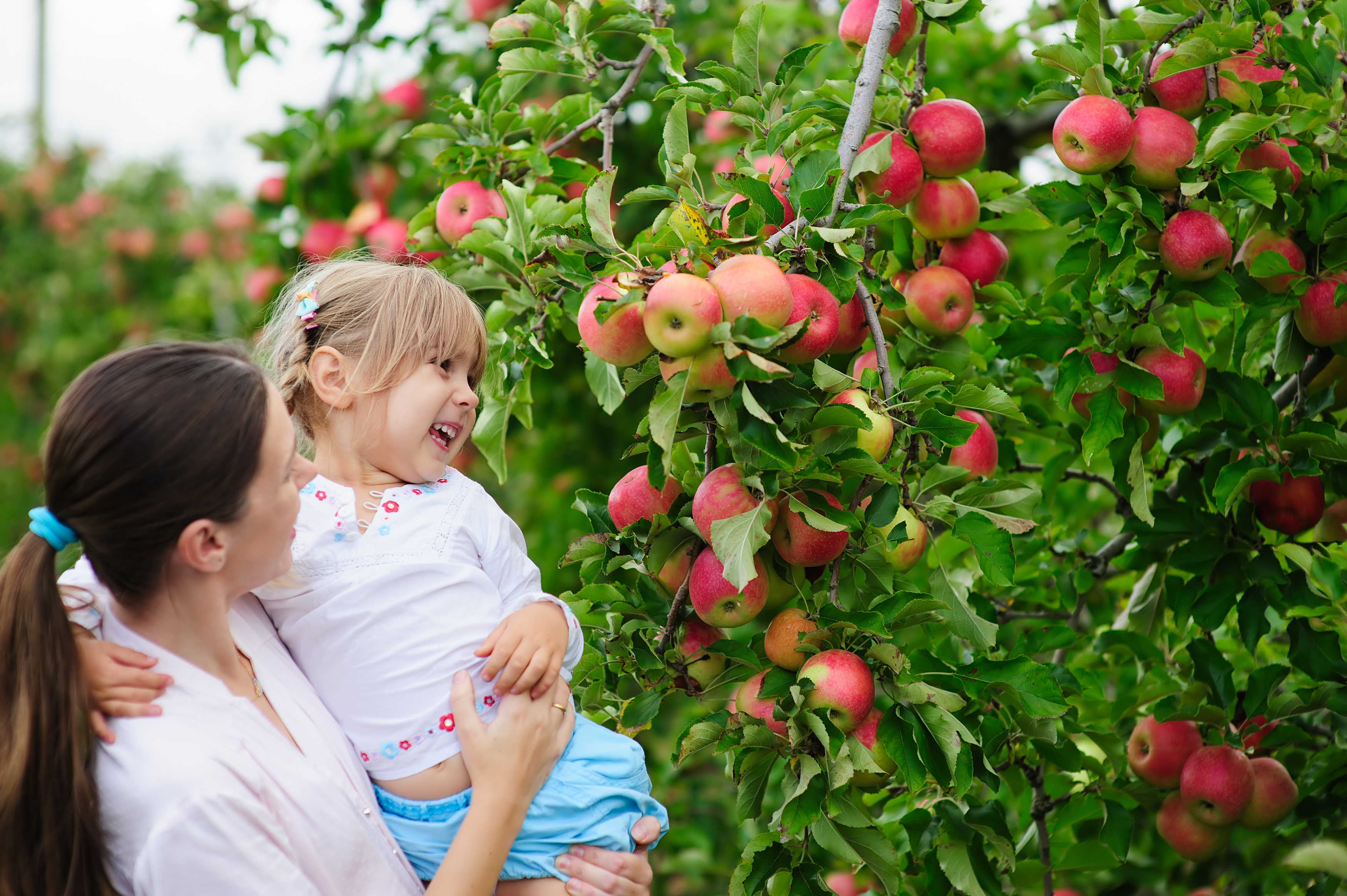 Apple picking in Virginia with the nature bus 1