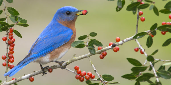 Bluebird with berry in its beak