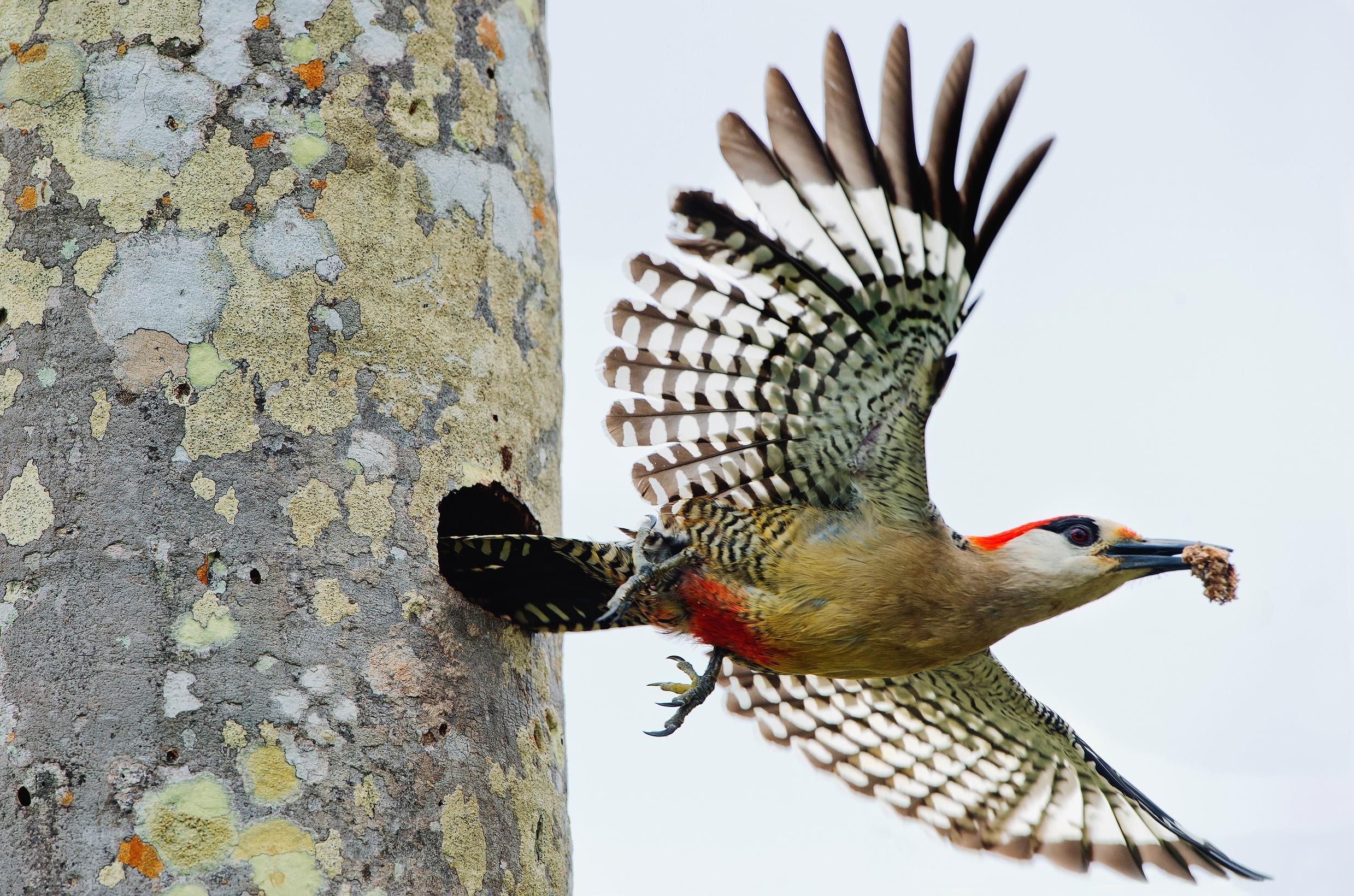 Woodpecker leaving nest