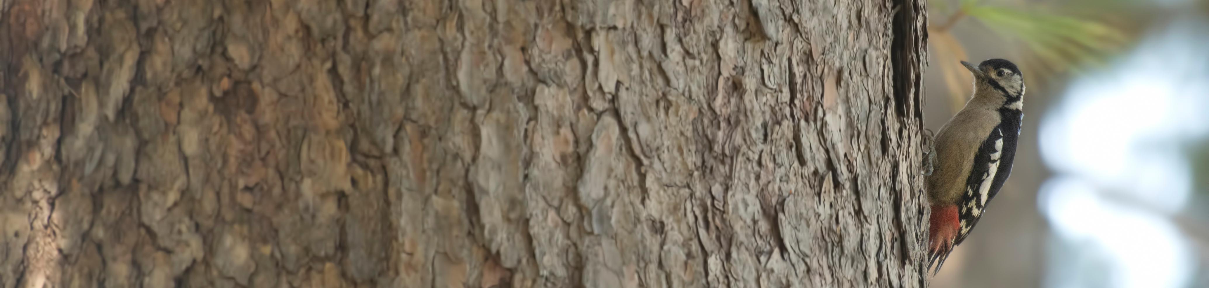 Woodpecker on pine tree 2
