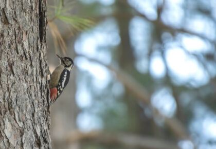 Why Don't Woodpeckers Get Concussions?