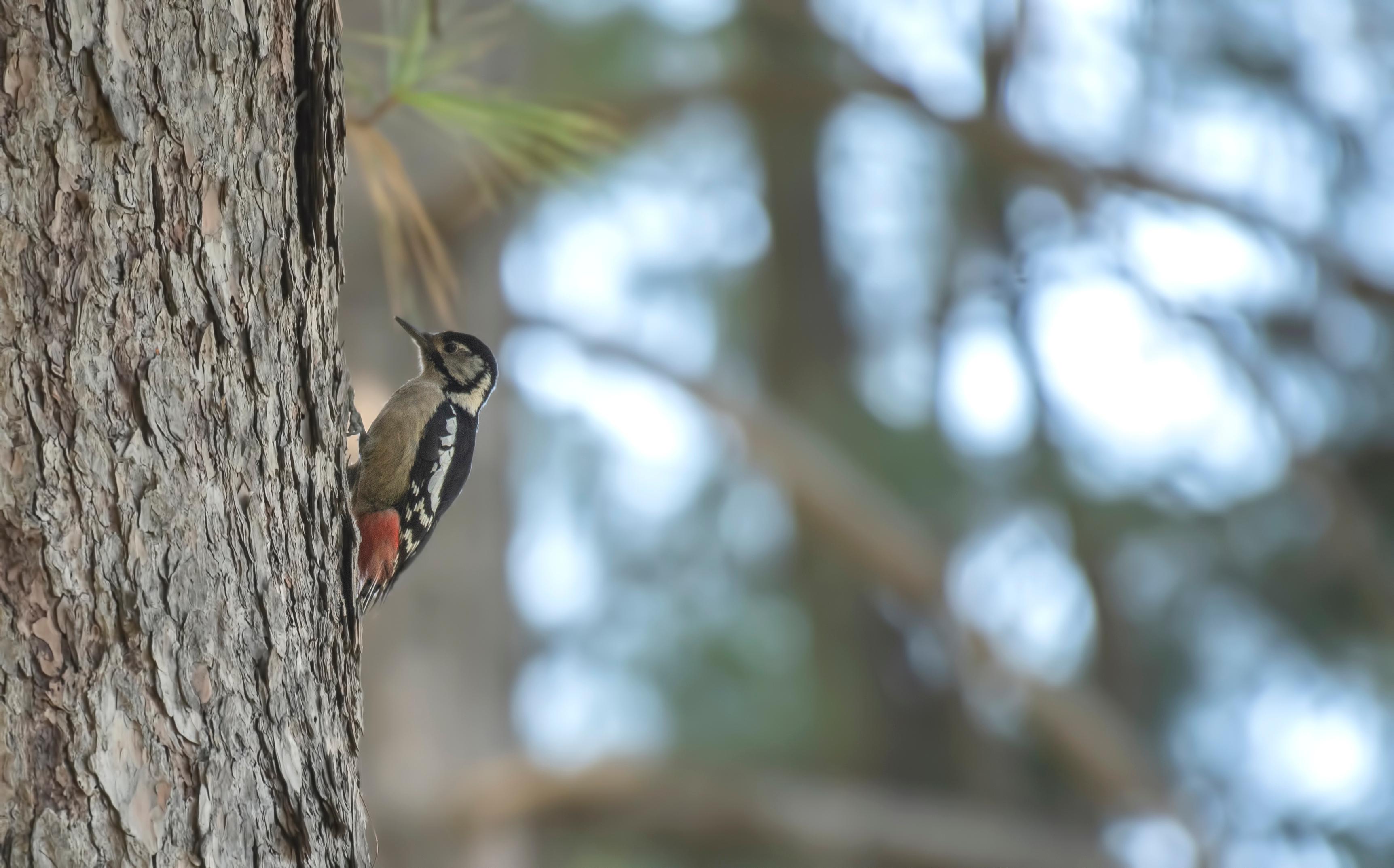 Woodpecker on pine tree