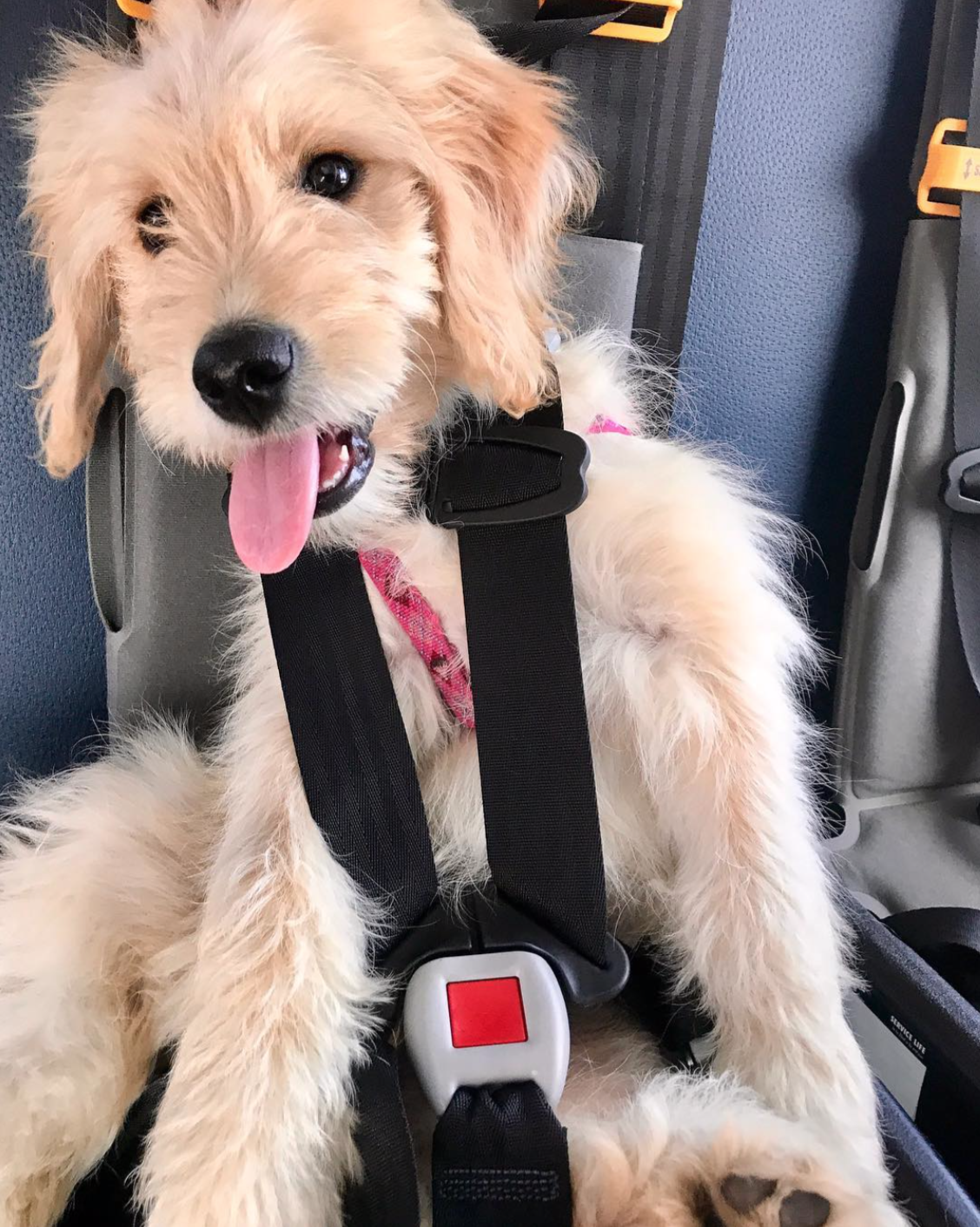 Golden doodle puppy with seatbelt on