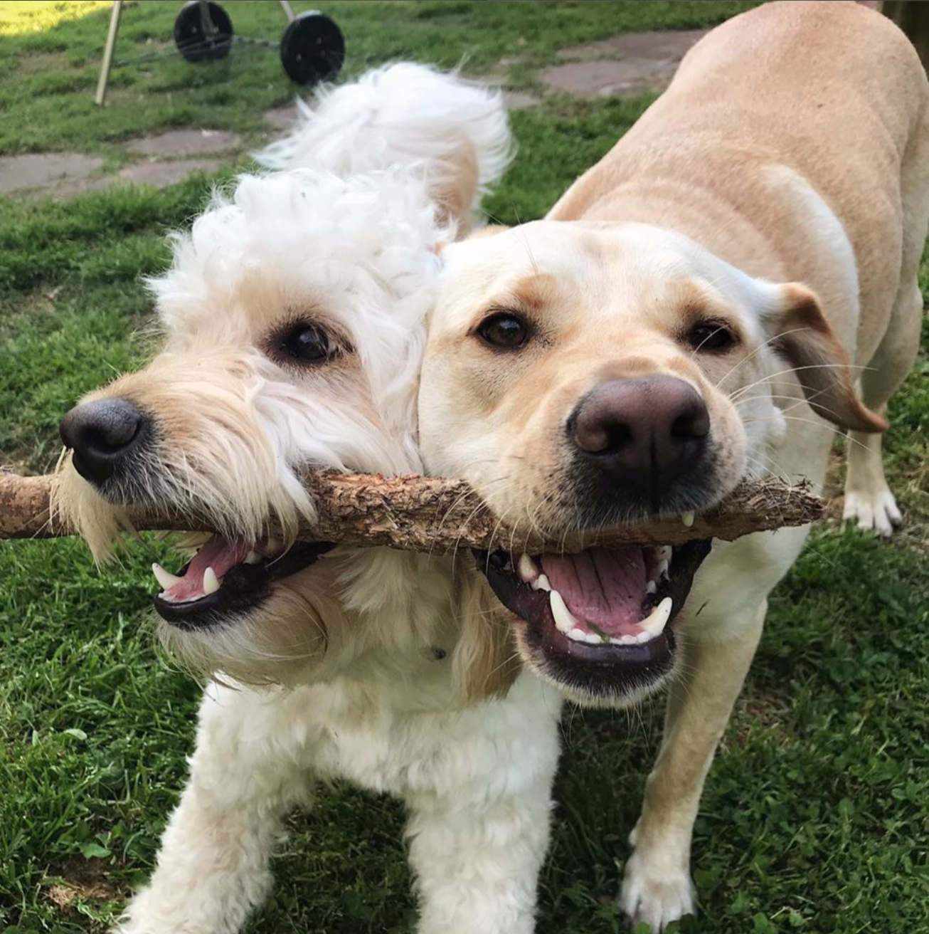 Golden doodle and Labrador retriever
