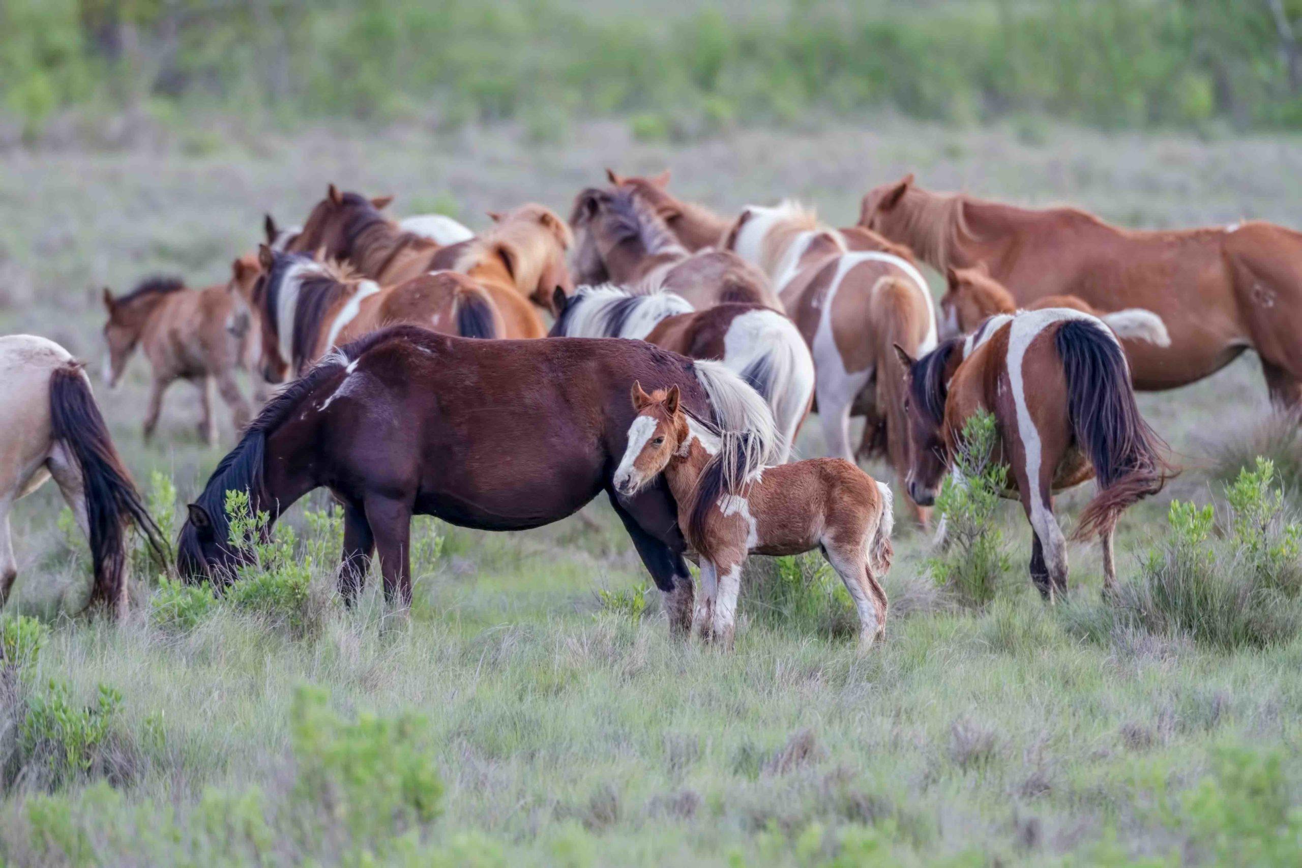 chincoteague ponies 2