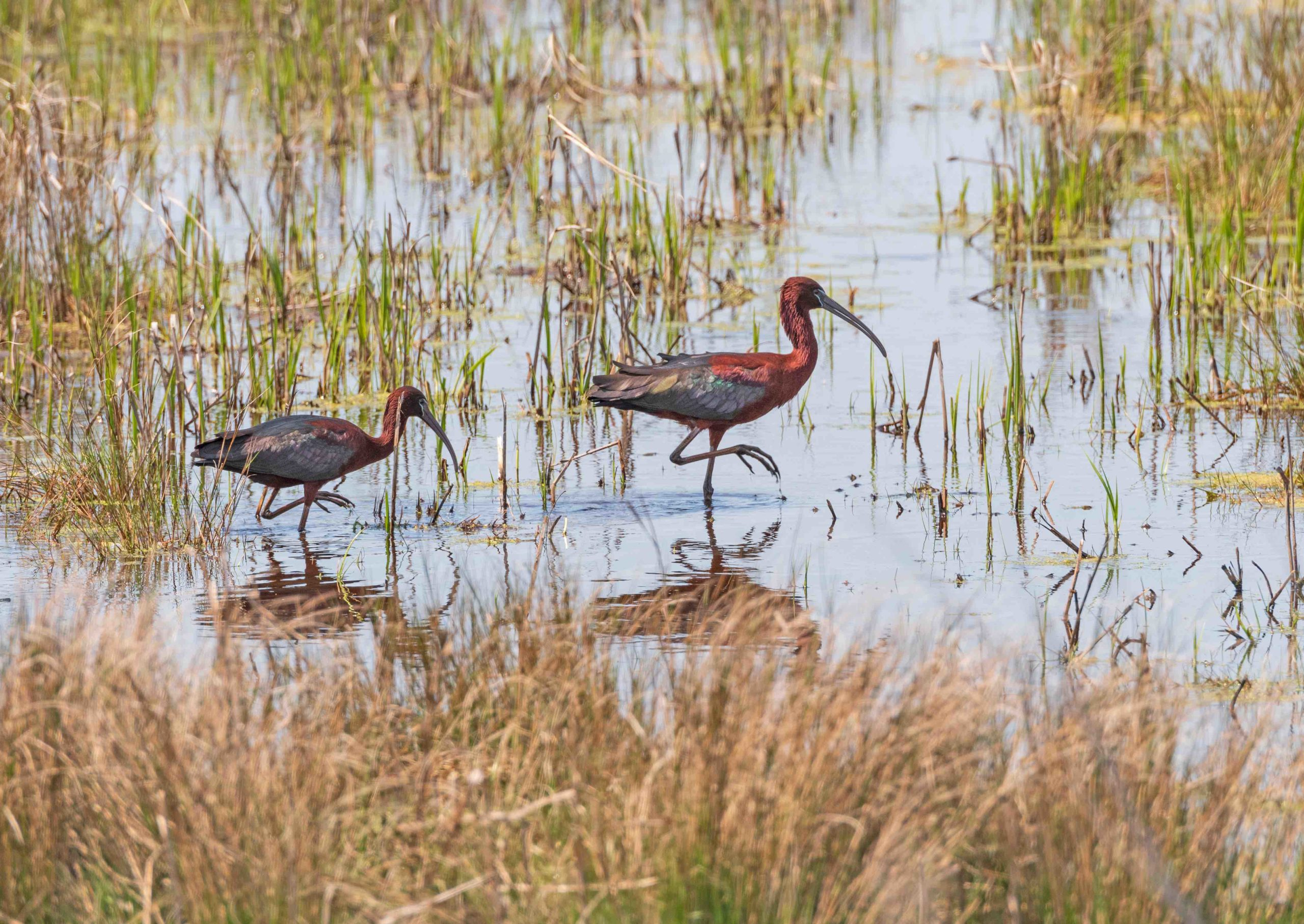 chincoteague glossy ibis