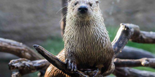 virginia river otter