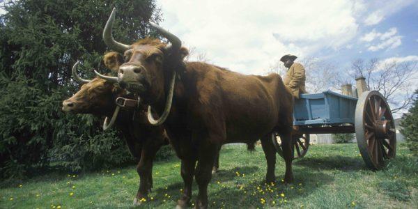 Historic Williamsburg tour ox drawn cart